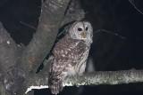 Barred Owl Visits Again