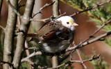 Leucistic White-throated Sparrow