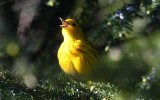 First Yellow Warbler of 2008