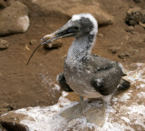 immature booby bird