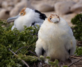 newborn frigate birds