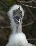 hungry Red-footed Booby Bird
