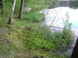 Calliergon cordifolium - Kärrskedmossa - Heart-leaved Spear-moss