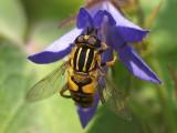 Pendelblomfluga - Helophilus pendulus
