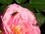 Geting och blomfluga