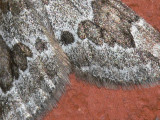 Enfältmätare - Thera juniperata - Juniper Carpet