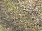 Kopparödla - Anguis fragilis - Slow-worm