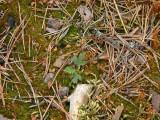 En liten mosippa spirar i den brända marken
