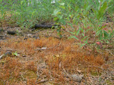 Funaria hygrometrica - Spåmossa - Common Cord-moss