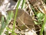 Ormbunksmätare - Petrophora chlorosata - Brown Silver-line