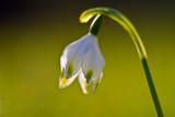 Snowdrop_Schneeglöckchen_ Galanthus Linnaeus_0332-3.jpg