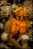 Orange Tiger Mantis Shrmp