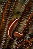 Crinoid fish