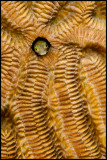 Secretary blenny on brain coral