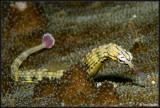 pipefish 2