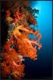 bright orange soft coral