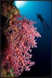 w/a pink soft coral and mike