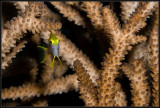 little yellow fish hiding in the staghorn