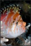 Tassled hawkfish portrait