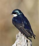 Hirondelle bicolore - _E0K2872 - Tree Swallow