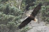 Pygargue à tête blanche - _E0K8137 - Bald Eagle