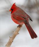 Cardinal rouge - _E0K3140 - Northern Cardinal