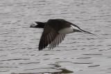 Kakawi / Canard à longue queue / Long-tailed Duck