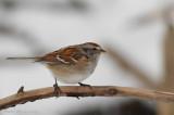 Bruant hudsonien -- _E0K2838 -- American Tree Sparrow