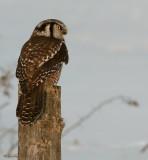 Chouette épervière -- Northern Hawk Owl