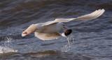 Goéland bourgmestre / Glaucous Gull