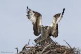 Balbuzard -- _E0K7778 -- Osprey