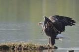 Pygargue à tête blanche -- Bald Eagle -- _E0K3076