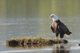 Pygargue à tête blanche -- _E0K3085 -- Bald Eagle