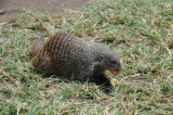banded mongoose 1
