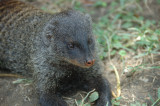 banded mongoose 2