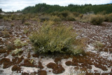 Lichen patches and prostrate kanuka