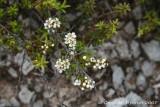 Prostrate kanuka flowers