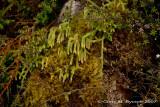 Lycopodiella cernua 1