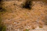 Deyeuxia avenoides  grassland