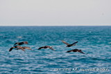 Spotted a group of flying spotted shags