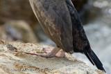 Juvenile spotted shag feet