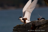 White-fronted tern -landing and nest mate.