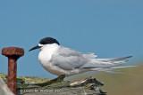 White fronted tern, Tairoa Head
