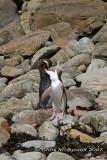 Hoiho, Yellow-eyed penguin a pair at Shag Point