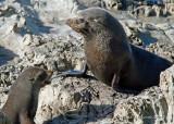 New Zealand fur seals, Kaikoura