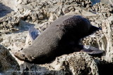 And then resting (NZ fur seal)