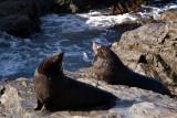 Two NZ fur seals