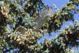 Red-Tailed Hawk Nest in Our Yard