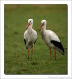 Ooievaar    -    White Stork