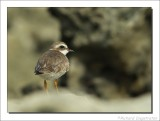 Amerikaanse Bontbekplevier    -    Semipalmated Plover